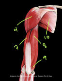 Shoulder and arm muscles Posterior view Human Anatomy Quiz part 1